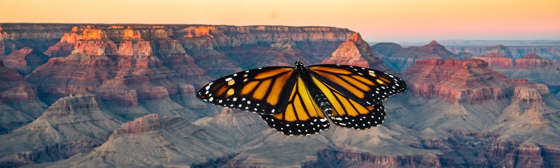 Monarch Butterfly over the Grand Canyon